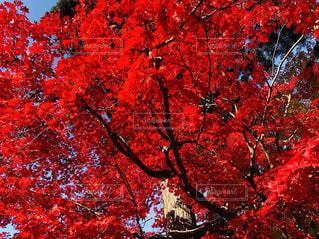 紅葉の写真・画像素材[2178362]