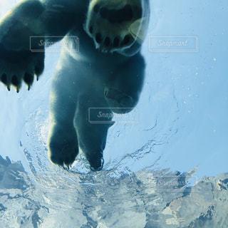 シロクマが雪の中を泳いでいるの写真・画像素材[2178363]