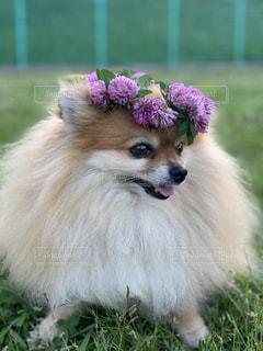 芝生に座っている犬の写真・画像素材[2176907]