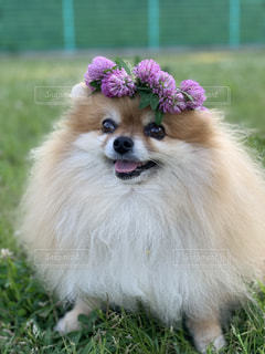 芝生に座っている犬の写真・画像素材[2176908]