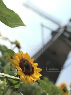 黄色い花の接写の写真・画像素材[2177113]