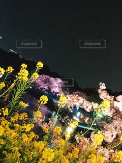 夜桜の写真・画像素材[2177556]