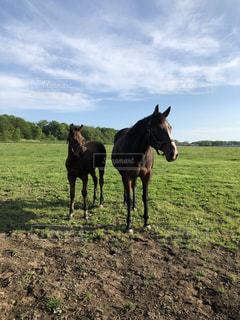 お母さんから離れない仔馬の写真・画像素材[2177735]