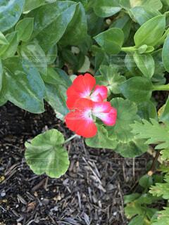 花シリーズの写真・画像素材[3726013]