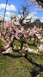 木の上のピンクの花の群しの写真・画像素材[2387553]