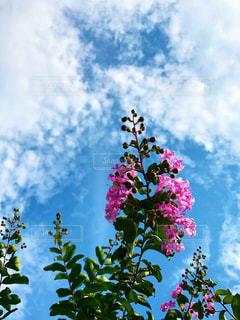 百日紅の花の写真・画像素材[2491202]
