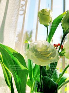白いトルコキキョウの写真・画像素材[2683949]