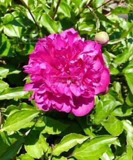 大きな花の写真・画像素材[3363731]