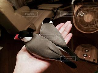 手乗り文鳥の写真・画像素材[2189780]