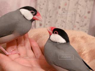 見つめ合う文鳥の写真・画像素材[2189785]
