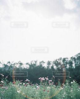 コスモス畑の写真・画像素材[2379205]