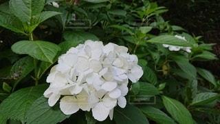 緑の葉を持つバラの写真・画像素材[2182592]