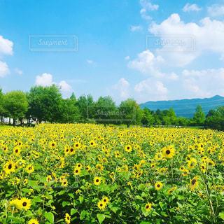 向日葵畑の写真・画像素材[2332362]