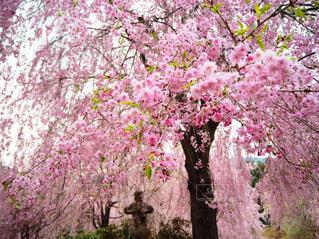 桜🌸の写真・画像素材[2181957]