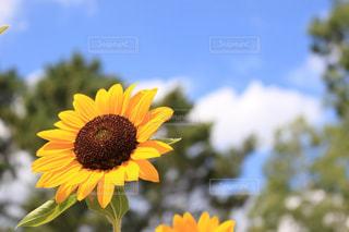 黄色い花の写真・画像素材[2367368]
