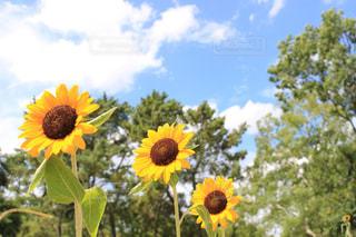 黄色い花の写真・画像素材[2367369]