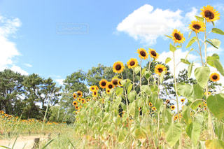 ひまわり畑の写真・画像素材[2367370]