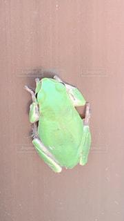 緑のカエルの写真・画像素材[2182090]