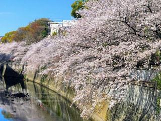 江戸川橋の桜の写真・画像素材[2185633]