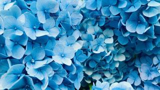 紫陽花のクローズアップの写真・画像素材[2185132]