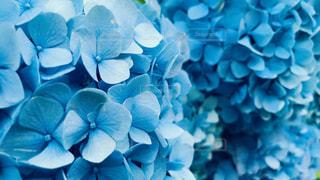 紫陽花のクローズアップの写真・画像素材[2185146]