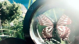 アゲハ蝶の標本の写真・画像素材[2185928]