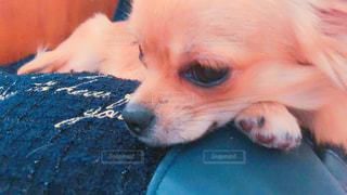 チワワ子犬の写真・画像素材[2208437]