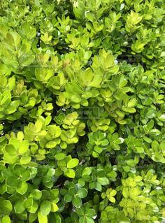 緑の植物のクローズアップの写真・画像素材[2212567]