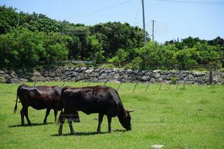 離島の牛の写真・画像素材[2240297]