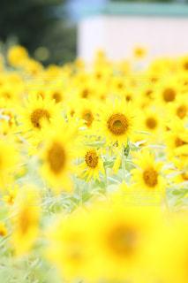 向日葵畑🌻の写真・画像素材[2355813]