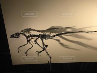 ラプトル骨格標本の写真・画像素材[2188259]