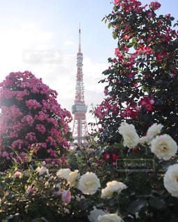 東京タワーとバラの写真・画像素材[2186594]