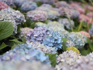 紫陽花の写真・画像素材[2186736]
