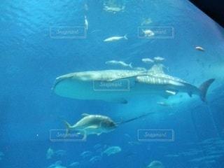 美ら海のジンベイザメの写真・画像素材[2187190]