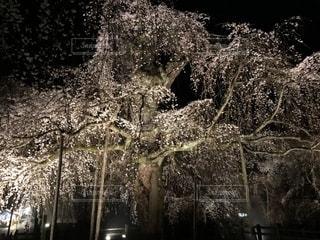夜の枝垂れ桜の写真・画像素材[2187605]