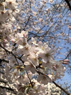 満開の桜と青空🌸の写真・画像素材[2195705]