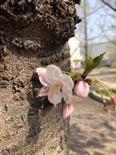 桜咲く🌸の写真・画像素材[2195712]