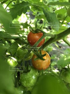 ミニトマトの写真・画像素材[2209414]