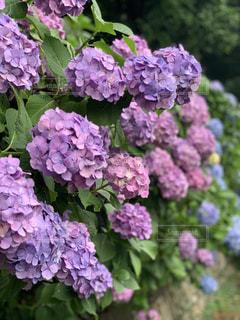 雨上がりの紫陽花の写真・画像素材[2239496]