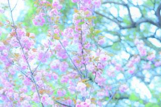 ころんとした桜の写真・画像素材[2208770]