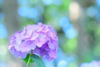 紫陽花フォトの写真・画像素材[2222224]