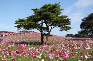 ひたち海浜公園のコスモス畑の写真・画像素材[2243576]