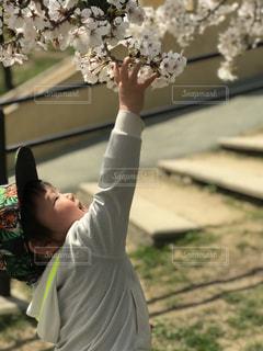こんな近くに桜の花が!!の写真・画像素材[2194584]
