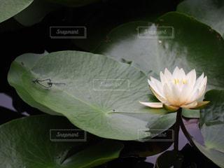 睡蓮とトンボの写真・画像素材[2264382]