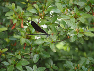 木に止まるトンボの写真・画像素材[2264390]