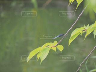 木の枝にトンボの写真・画像素材[2264399]