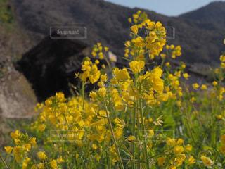 野原の黄色い花の写真・画像素材[2264743]