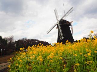 菜の花と風車の写真・画像素材[2264746]