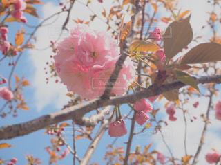 桜の通り抜けの写真・画像素材[2266716]