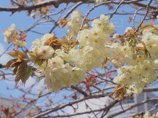 珍しい桜の写真・画像素材[2266717]